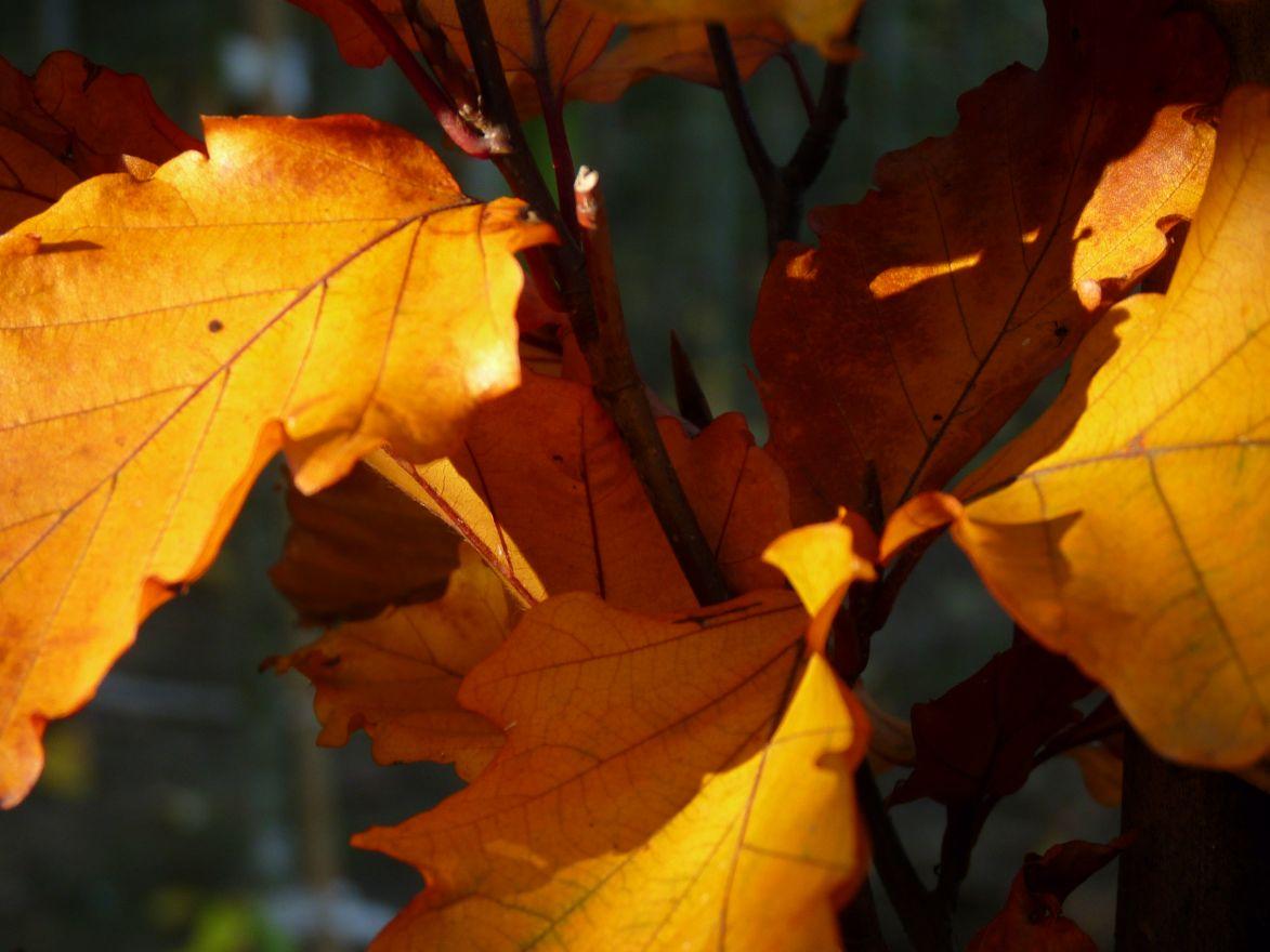 Fagus sylvatica 'Dawyck Gold' (Gele zuilbeuk)