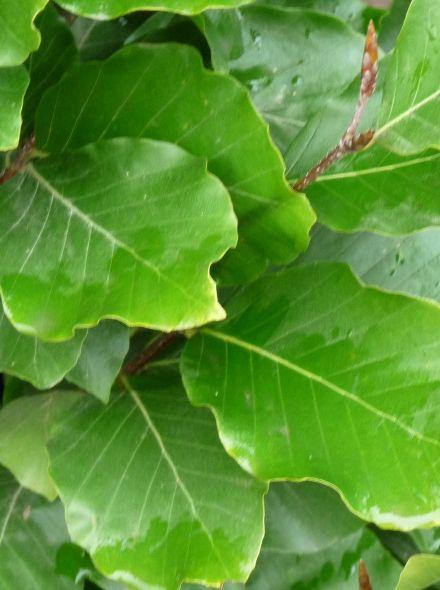 Fagus sylvatica 'Dawyck' (Groene zuilbeuk)