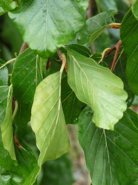 Fagus sylvatica 'Pendula' (Groene treurbeuk, Treurbeuk)