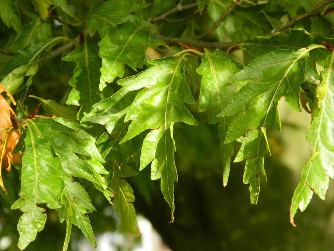 Fagus sylvatica 'Asplenifolia' (Varenbeuk, Varenbladige beuk)
