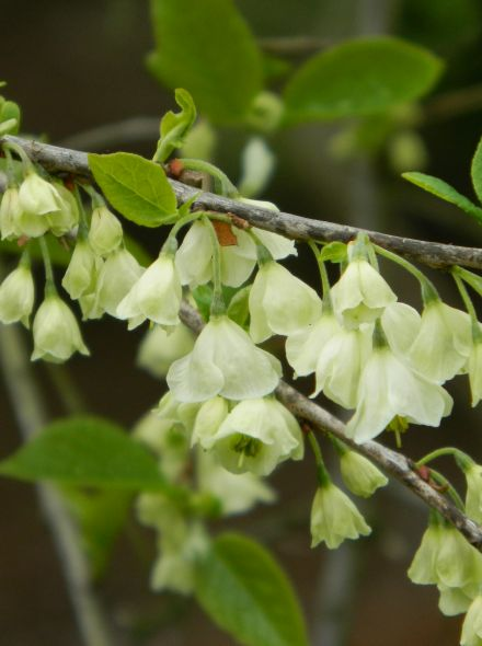 Halesia carolina (sneeuwklokjesboom)