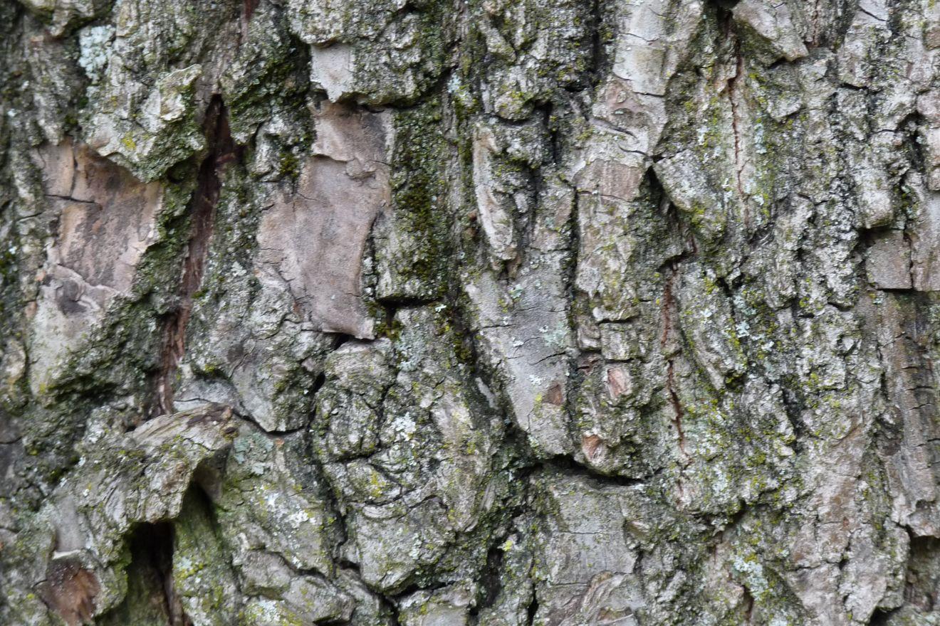 Juglans nigra (Zwarte walnoot)