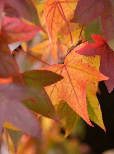 Liquidambar styraciflua (Amberboom)