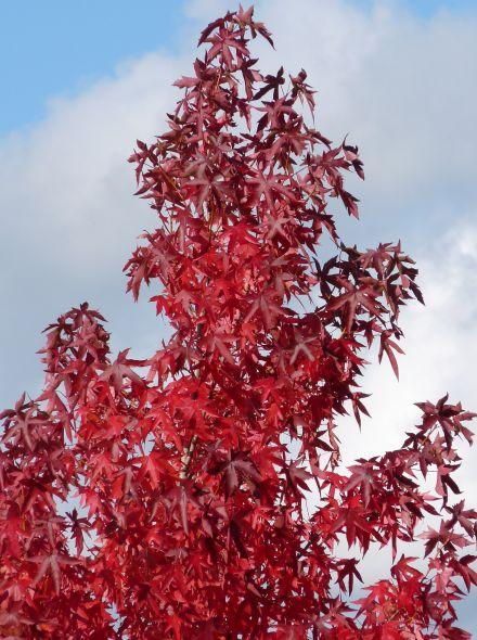Liquidambar styraciflua 'Worplesdon' (Amberboom)