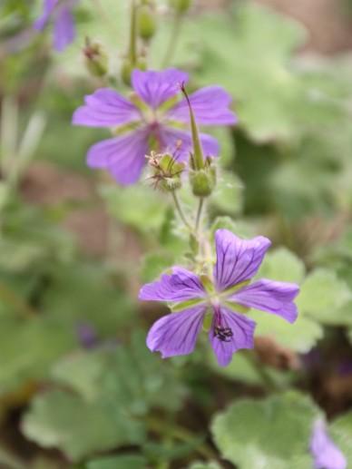 Geranium cinereum 'Carol' - Ooievaarsbek