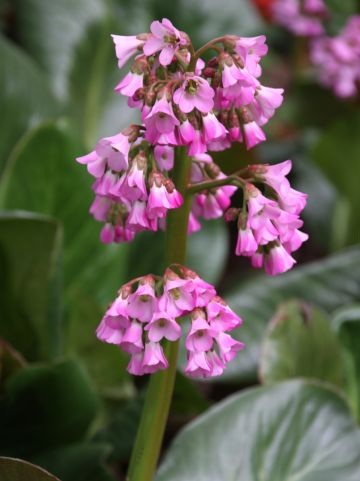 Bergenia 'Admiral' - Schoenlappersplant