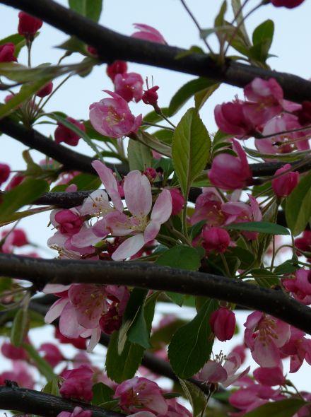 Malus floribunda (Japanse wilde appel, sierappel)