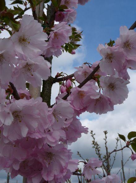 Prunus serrulata 'Accolade' (Japanse sierkers)