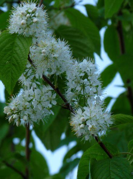 Prunus padus 'Albertii' (Vogelkers)