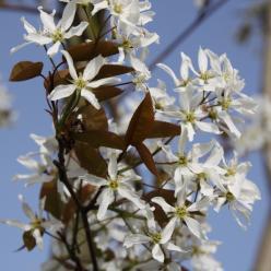 Amelanchier arborea 'Robin Hill' - Krentenboompje