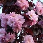 Prunus serrulata 'Royal Burgundy' (Roodbladige Japanse sierkers) 10-12 wrtg