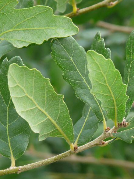 Quercus turneri 'Pseudoturneri' (Steeneik, Wintergroene eik, Groenblijvende eik) 12-14 draadkluit beveerd