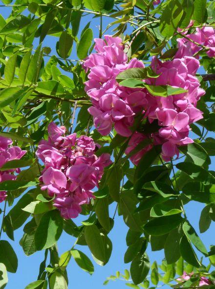 Robinia margaretta 'Casque Rouge' (Acacia)