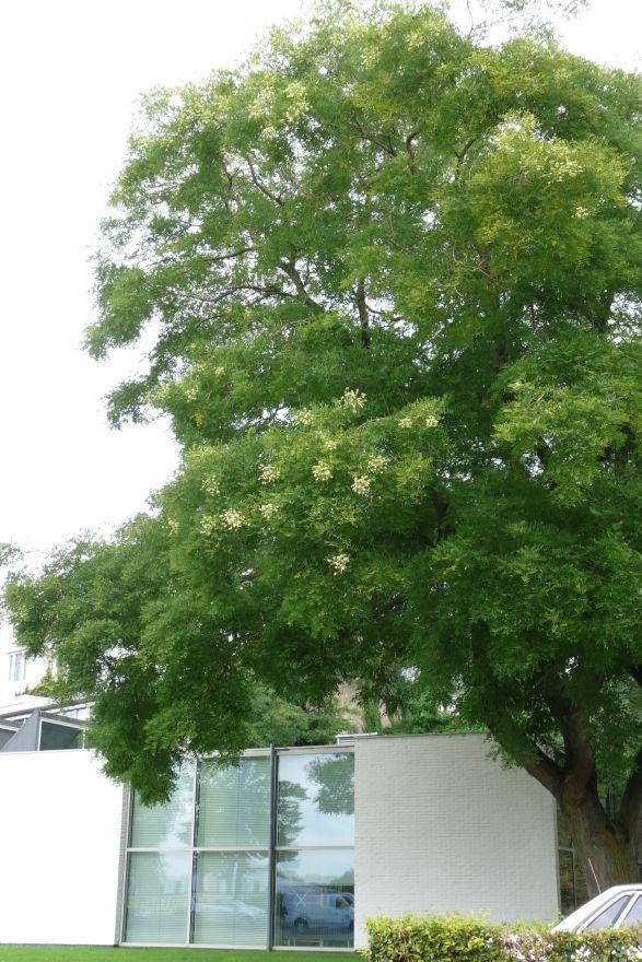 Sophora Japonica Honingboom De Tuinen Van Appeltern