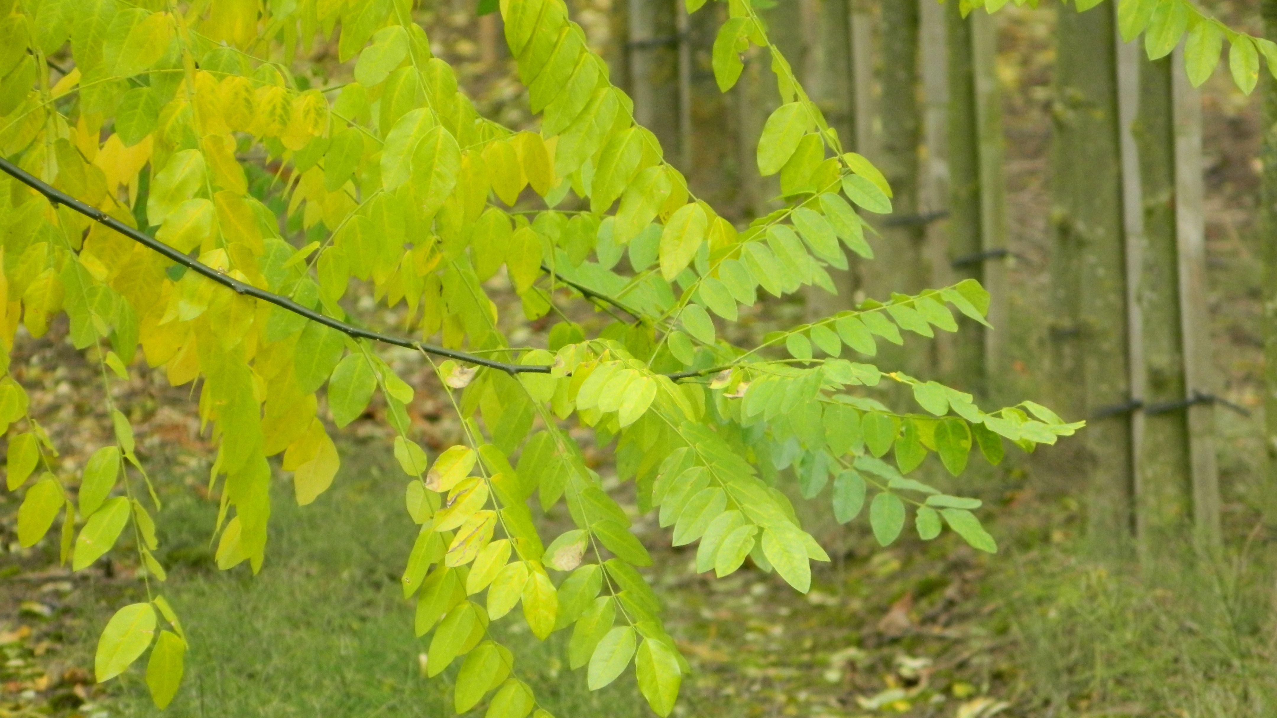 Sophora Japonica Pendula Treur Honingboom Treurvormige Honingboom De Tuinen Van Appeltern