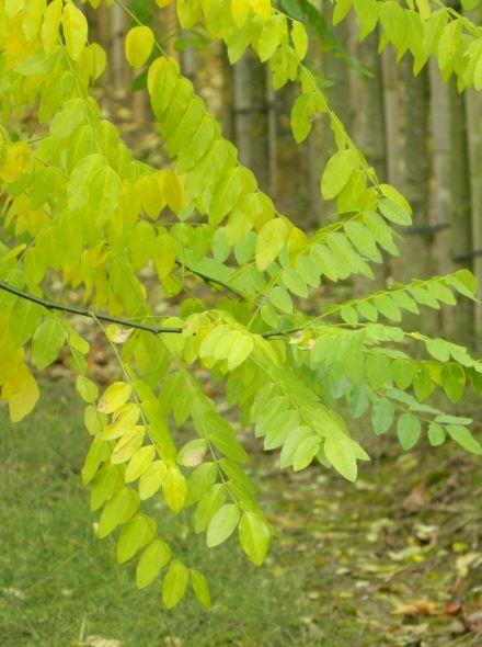 Sophora japonica 'Pendula' (Treur Honingboom, Treurvormige honingboom)