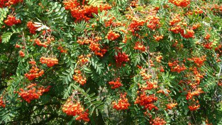 Inheemse bomen