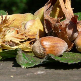 Hazelaar (Corylus avellana, bosplantsoen)