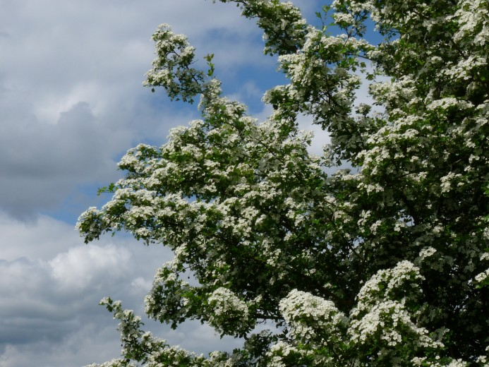 Eenstijlige meidoorn (crataegus monogyna, bosplantsoen)