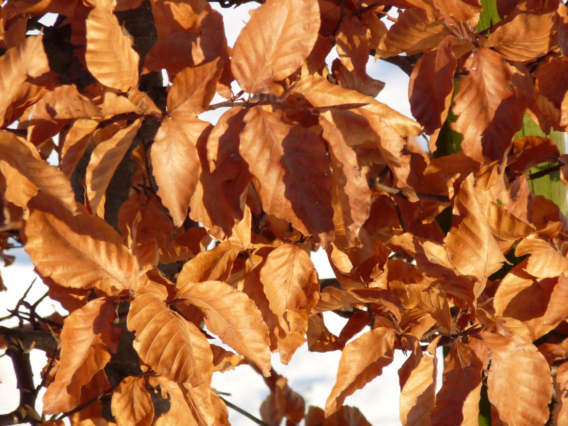 Beuk (Fagus sylvatica, bosplantsoen)