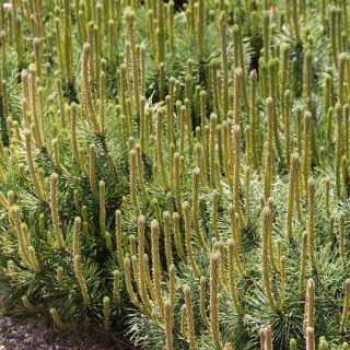 Pinus mugo 'Pumilio' (Pijnboom, dwergden)