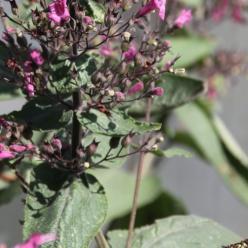 Lepechinia hastata - Valse Salvia