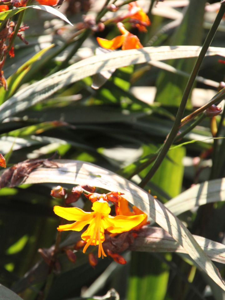 Crocosmia 'Star of the East' - Montbretia, crocosmia