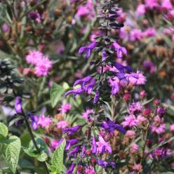 Salvia guaranitica var. purpurea - Salie