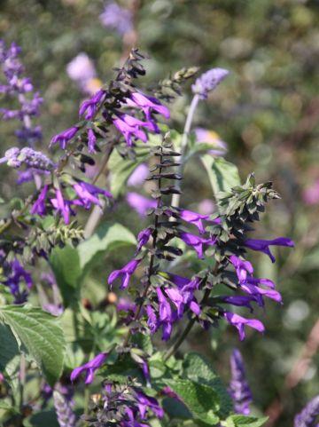 Salvia guaranitica var. purpurea - Salie