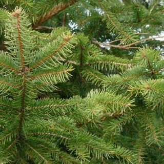Fijnspar (Picea abies, bosplantsoen)