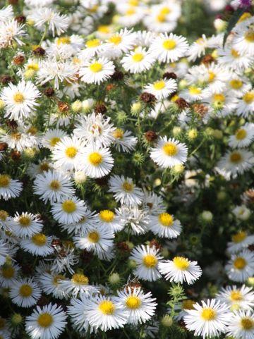 Aster novae-angliae 'Herbstschnee' - Herfstaster