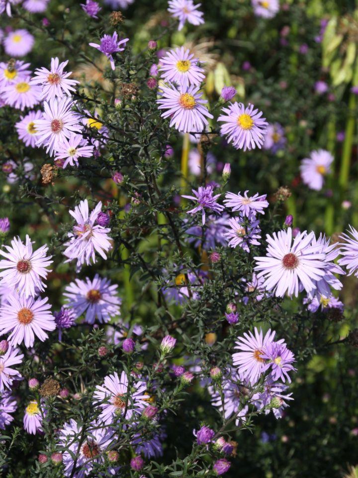 Aster laevis 'Arcturus' - Aster
