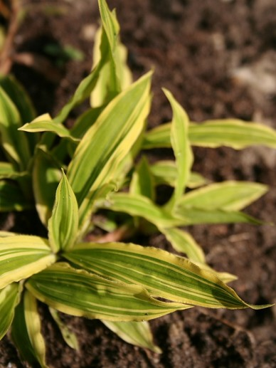Carex siderosticha 'Shima-nishiki' - Zegge