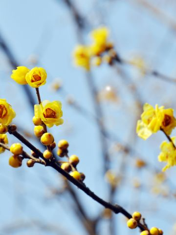 Chimonanthus praecox - Meloenboompje