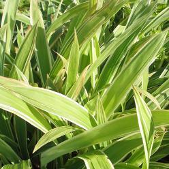 Carex siderosticha 'Variegata' - Zegge