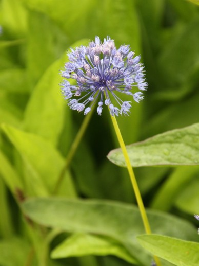 Allium caeruleum - Blauwe look, sierui