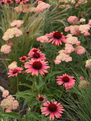Achillea millefolium 'Wesersandstein' - Duizendblad