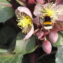 Helleborus x sternii - Nieskruid, kerstroos