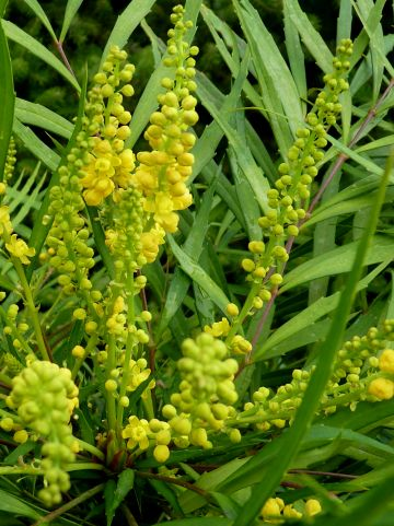 Mahonia eurybracteata 'Soft Caress' - Mahoniestruik