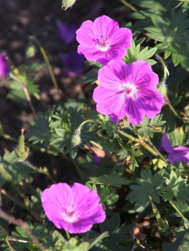 Geranium sanguineum 'Hannelore' - Bloedrode ooievaarsbek