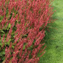 Persicaria amplexicaulis 'Orangefield' - Duizendknoop
