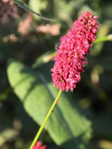 Persicaria amplexicaulis 'Blackadder' - Duizendknoop