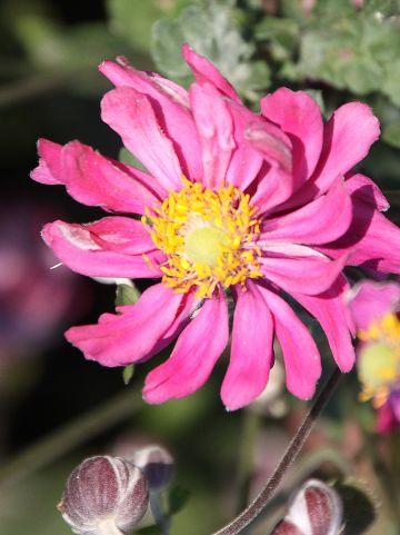 Anemone hybrida 'Amaranthe' - Herfstanemoon