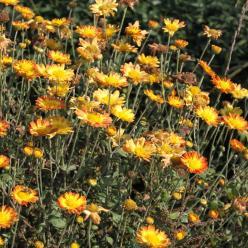 Chrysanthemum indicum 'Dernier Soleil' - Tuinchrysant, zomermargriet