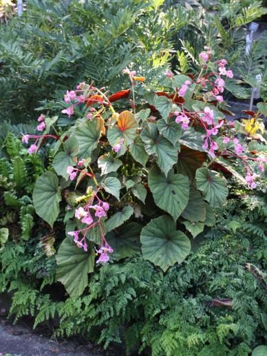 Begonia grandis subsp. evansiana - Tuinbegonia