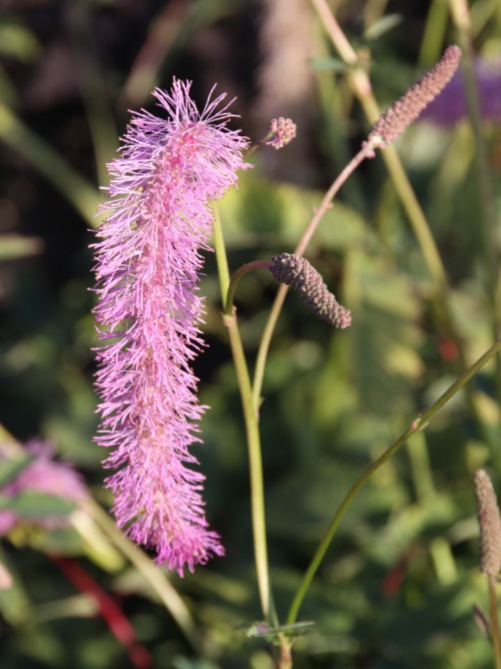 Sanguisorba hakusensis 'Lilac Squirel' - Pimpernel