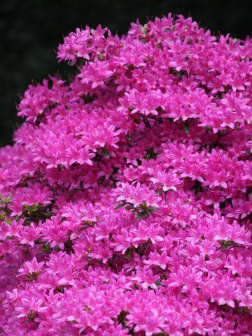 Rhododendron obtusum 'Hinodegiri' - Japanse azalea