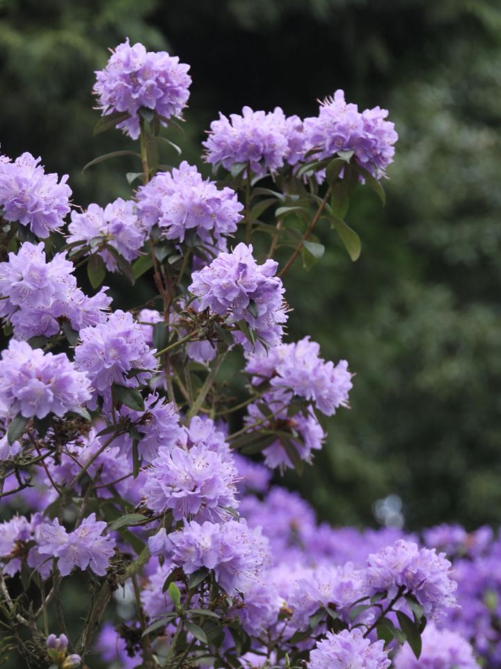 Rhododendron 'Gristede' - Dwergrododendron, Alpenroosje