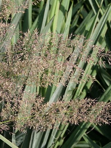 Calamagrostis brachytricha - Diamantgras