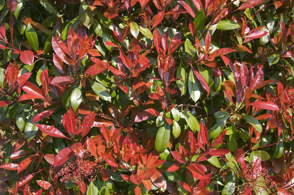 hoe onderhoud ik photinia x fraseri 39 red robin 39 het best de tuinen van appeltern. Black Bedroom Furniture Sets. Home Design Ideas
